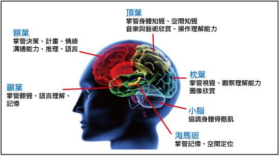 大腦區域功能