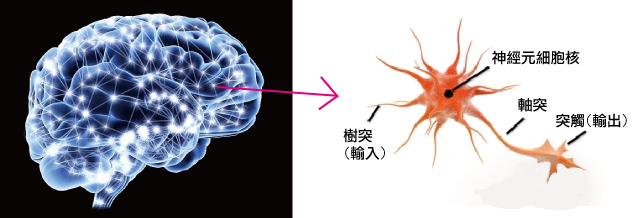 腦部神經系統